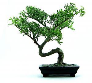 994671_bonsai